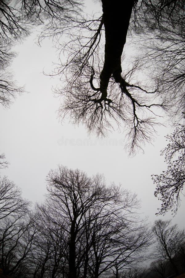 Ansicht von unten von hohen alten Bäumen im Winterwaldblauen Himmel im Hintergrund azerbaijan stockbilder