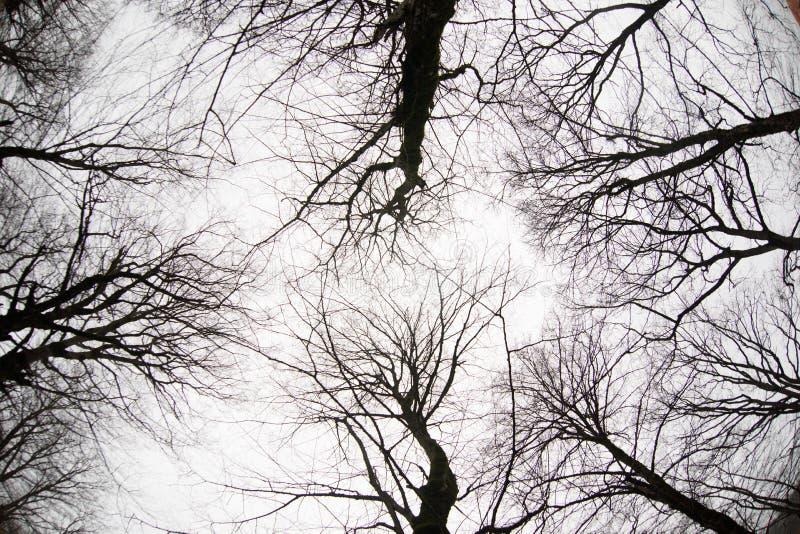 Ansicht von unten von hohen alten Bäumen im Winterwaldblauen Himmel im Hintergrund azerbaijan lizenzfreie stockbilder