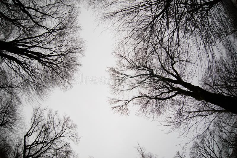 Ansicht von unten von hohen alten Bäumen im Winterwaldblauen Himmel im Hintergrund azerbaijan stockfoto