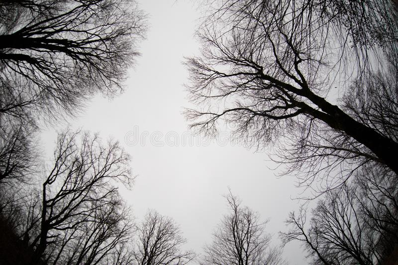 Ansicht von unten von hohen alten Bäumen im Winterwaldblauen Himmel im Hintergrund azerbaijan lizenzfreies stockbild