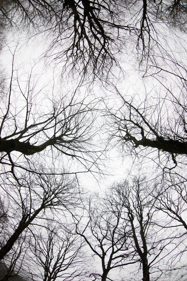 Ansicht von unten von hohen alten Bäumen im Winterwaldblauen Himmel im Hintergrund azerbaijan lizenzfreie stockfotos