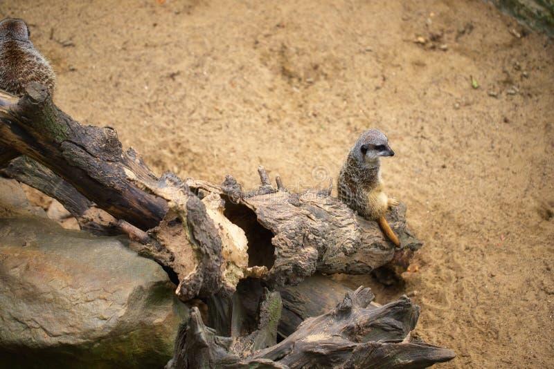 Ansicht wilden Afrikaner Meerkat-suricatta, das auf dem Baumstamm sitzt stockbild