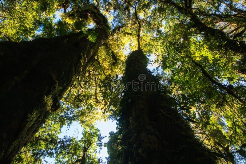 Ansichtfotos von unterhalb des großen Baums Zeigen Sie Detail Blätter f eines Grüns stockbild