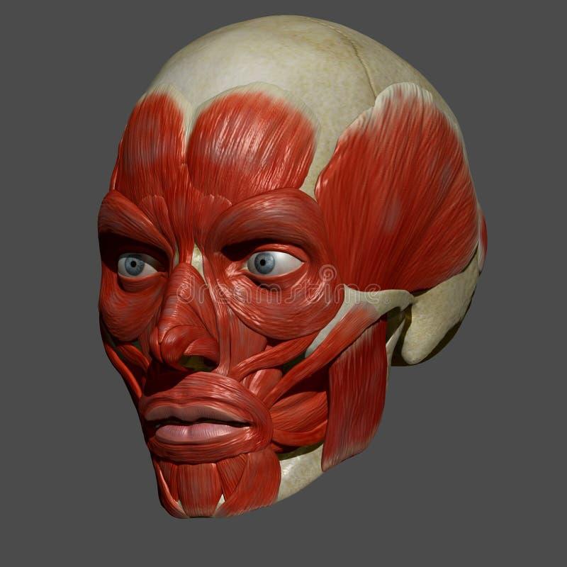 Ansikts- muskler royaltyfri illustrationer