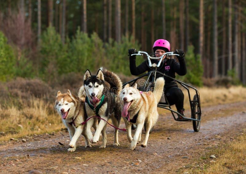 Anslutning Skottland, loppdeltagare för slädehund. fotografering för bildbyråer
