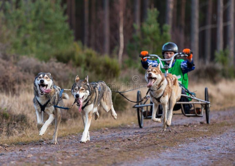 Anslutning Skottland, loppdeltagare för slädehund. royaltyfria foton