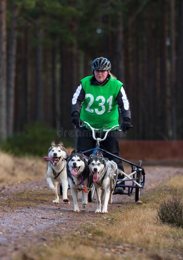 Anslutning Skottland, loppdeltagare för slädehund. arkivbilder