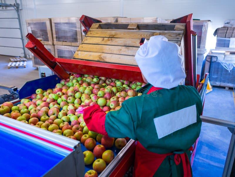 Anställd sorterar de nya mogna äpplena på den sortera linjen PR royaltyfria bilder