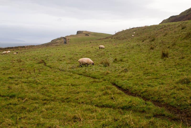 Anstarrende Schafe lizenzfreie stockfotos