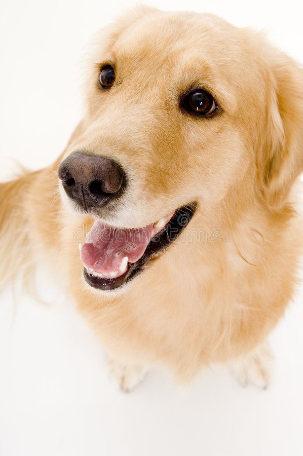 Anstarrenhund lizenzfreie stockbilder