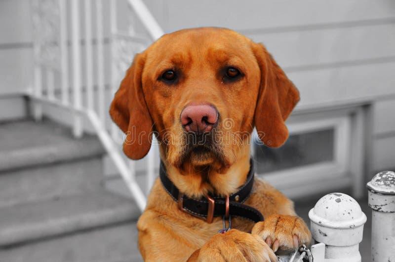 Anstarrenhund lizenzfreies stockfoto