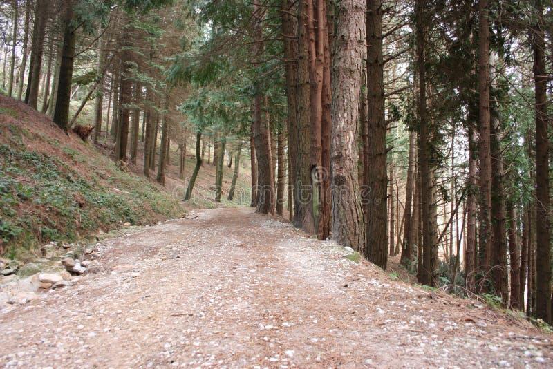 Ansteigender Weg Weg umgeben durch hohe Kiefer entlang der Pflasterung Natur wächst im Wald geometrisch stockfotografie