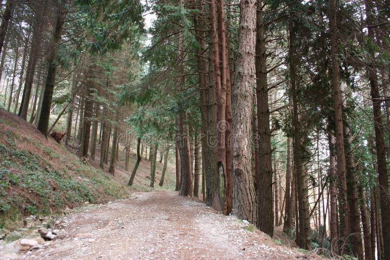 Ansteigender Weg Weg umgeben durch hohe Kiefer entlang der Pflasterung Natur wächst im Wald geometrisch lizenzfreies stockfoto