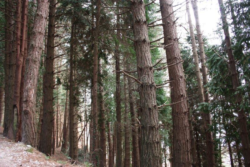 Ansteigender Weg Weg umgeben durch hohe Kiefer entlang der Pflasterung Natur wächst im Wald geometrisch lizenzfreie stockfotografie