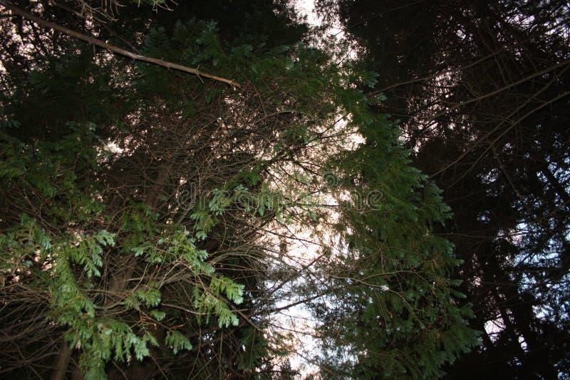 Ansteigender Weg Weg umgeben durch hohe Kiefer entlang der Pflasterung Natur wächst im Wald geometrisch lizenzfreie stockfotos