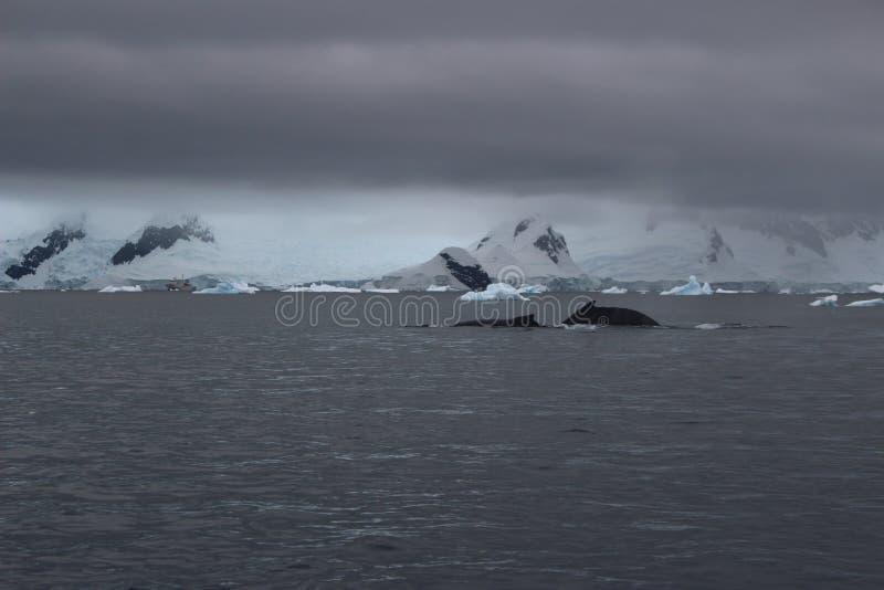 A Antártica - baleias foto de stock royalty free