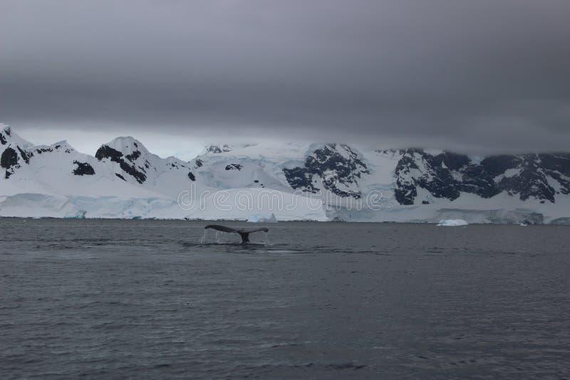 A Antártica - baleias fotografia de stock