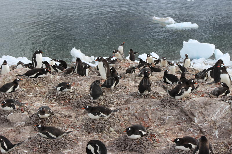 A Antártica - pinguins foto de stock royalty free