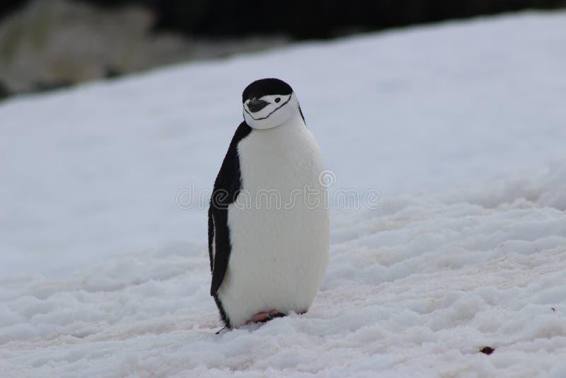 A Antártica - pinguins fotos de stock royalty free