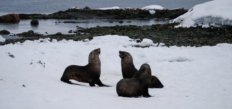 A Antártica sela o jogo na ilha de Peterman na Antártica fotos de stock