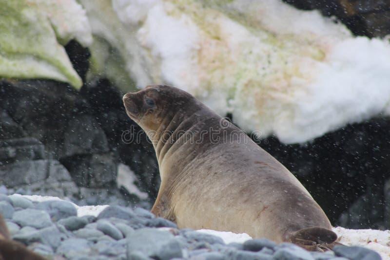 A Antártica - selos fotografia de stock