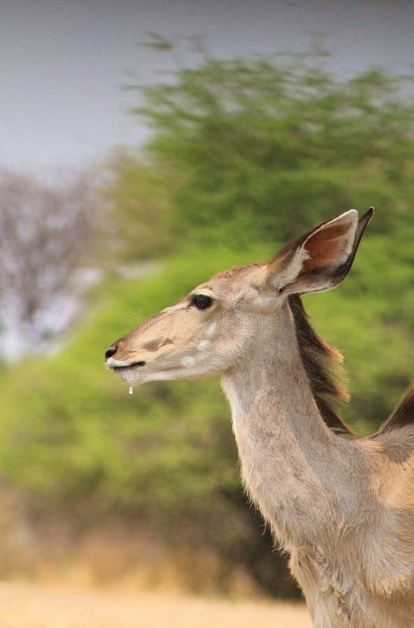 Antílope africano de Kudu - falta de definición de Bush fotografía de archivo libre de regalías