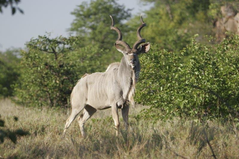 Antílope africano selvagem, foto de stock royalty free
