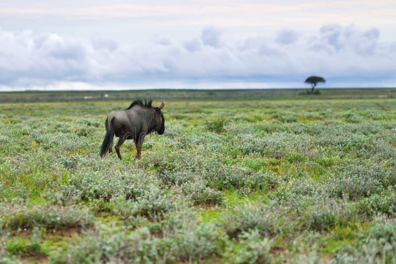 Antílope azul del ñu, África imagen de archivo