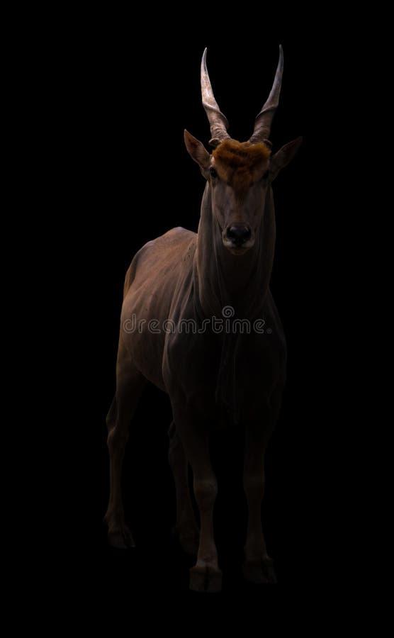 Antílope común en fondo oscuro fotografía de archivo