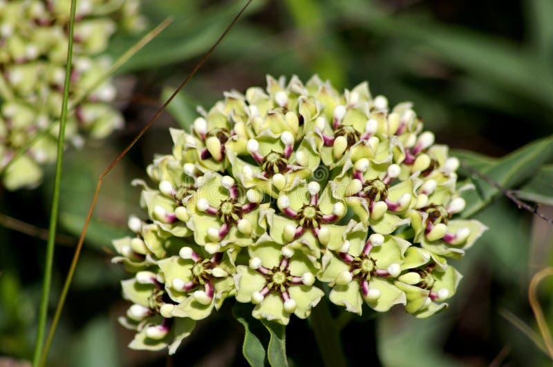Antílope-cuernos, Milkweed de la araña, Milkweed con flores verdes, asperula del Asclepias de los Antílope-cuernos de la araña fotografía de archivo