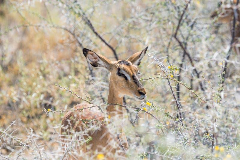 Antílope da impala entre a acácia de florescência imagem de stock