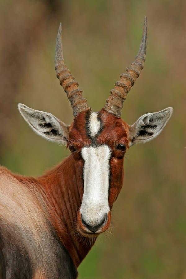 Antílope de Bontebok foto de archivo