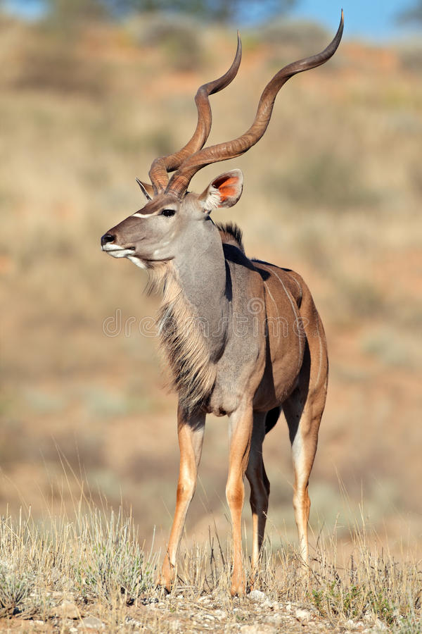 Antílope De Kudu Imagens de Stock Royalty Free