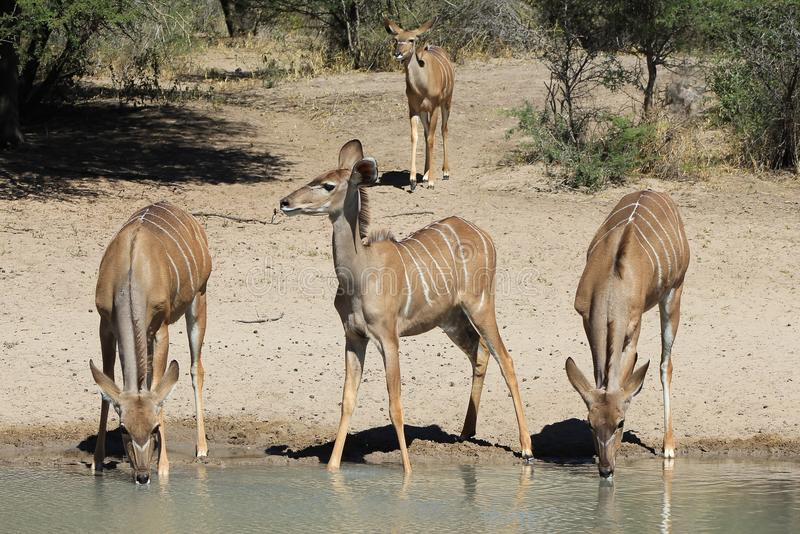Antílope de Kudu - fauna de África - modelo alineado foto de archivo