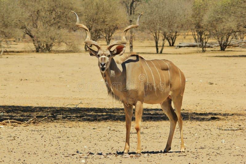 Antílope de Kudu - fondo de la fauna de África - boca abierta del temor para la naturaleza divertida foto de archivo libre de regalías