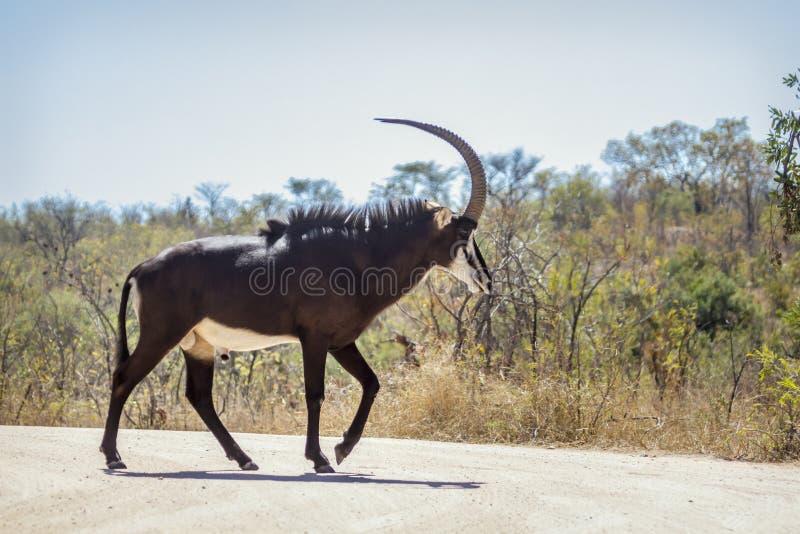Antílope de Sable en el parque nacional de Kruger, Suráfrica fotografía de archivo