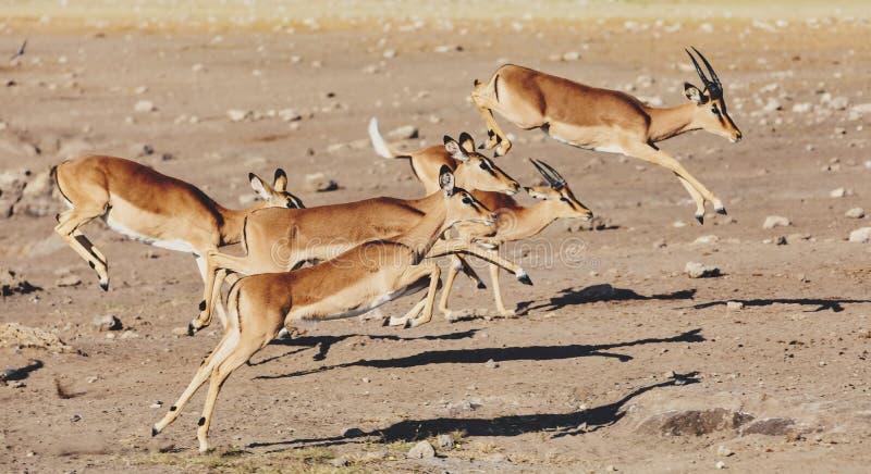 Antílope de salto da impala, animais selvagens do safari de África imagens de stock royalty free