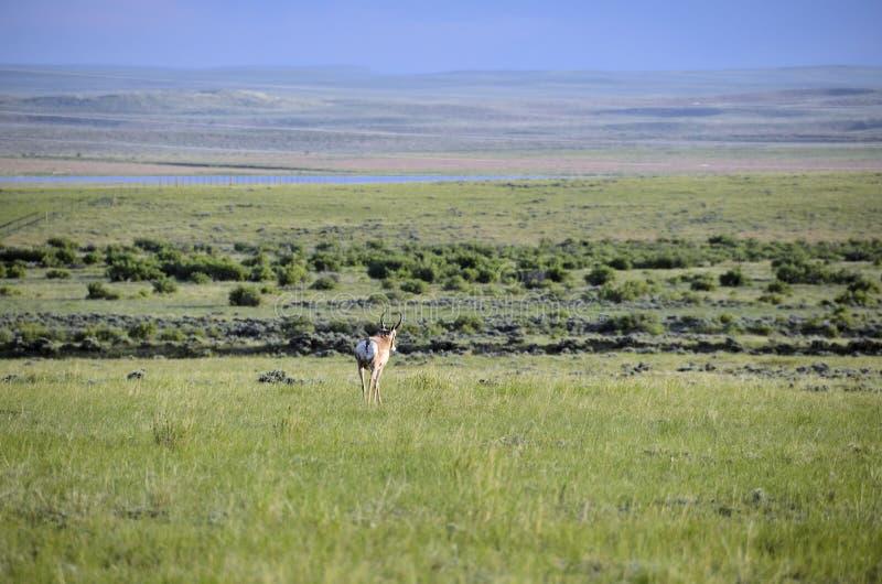 Antílope de Wyoming fotografia de stock