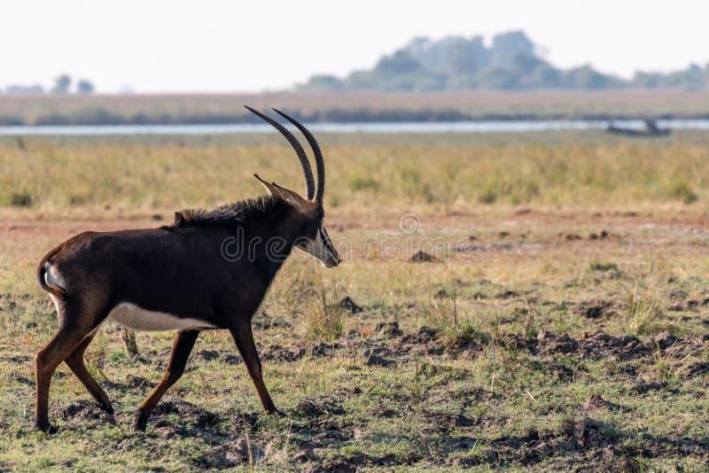 Antílope de zibelina nos pantanais no rio do chobe em Botswana, África foto de stock royalty free