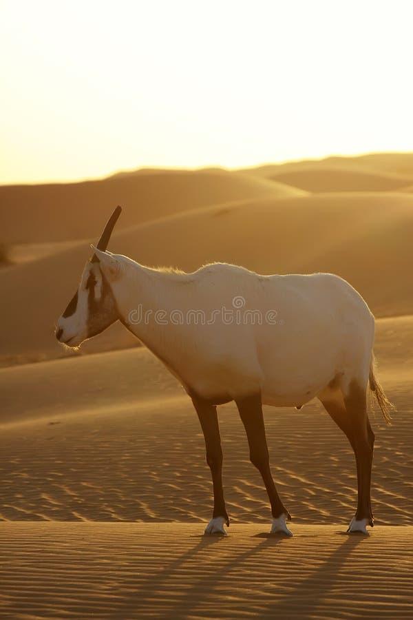 Antílope del desierto fotografía de archivo libre de regalías