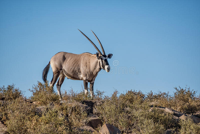 Antílope do Gemsbok foto de stock royalty free