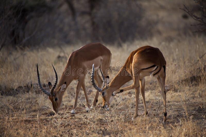 Antílope do Impala em Kenya fotografia de stock
