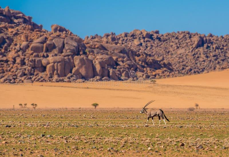 Antílope do Oryx no parque nacional de Namib-Naukluft, Namíbia imagens de stock royalty free
