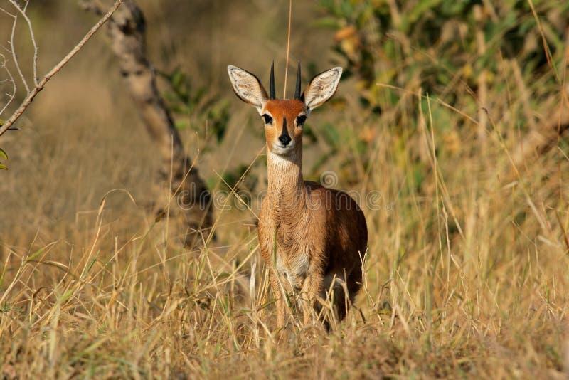 Antílope do Steenbok fotografia de stock royalty free