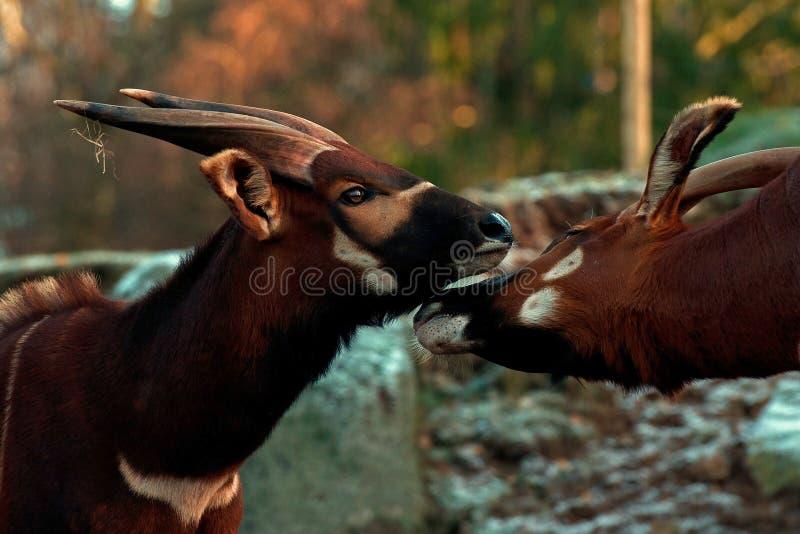 Antílope dos bongos, eurycerus do Tragelaphus dos bongos imagens de stock