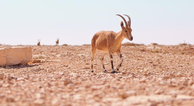 Antílope en desierto foto de archivo libre de regalías
