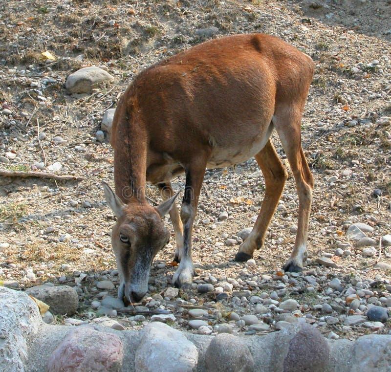 Antílope en el parque salvaje Natura Viva, Bussolengo, Italia imagen de archivo libre de regalías