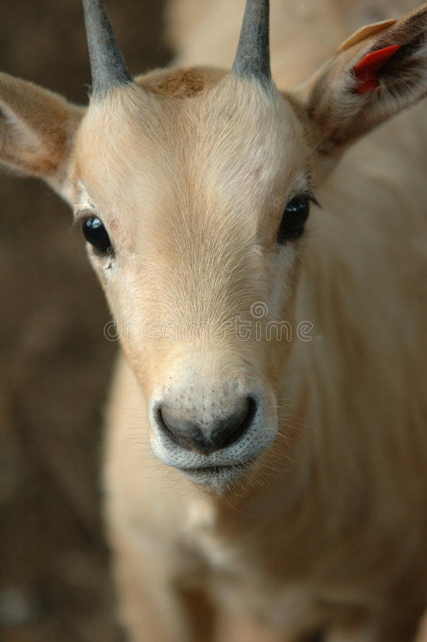 Antílope Inquisidor Do Bebê Imagem de Stock