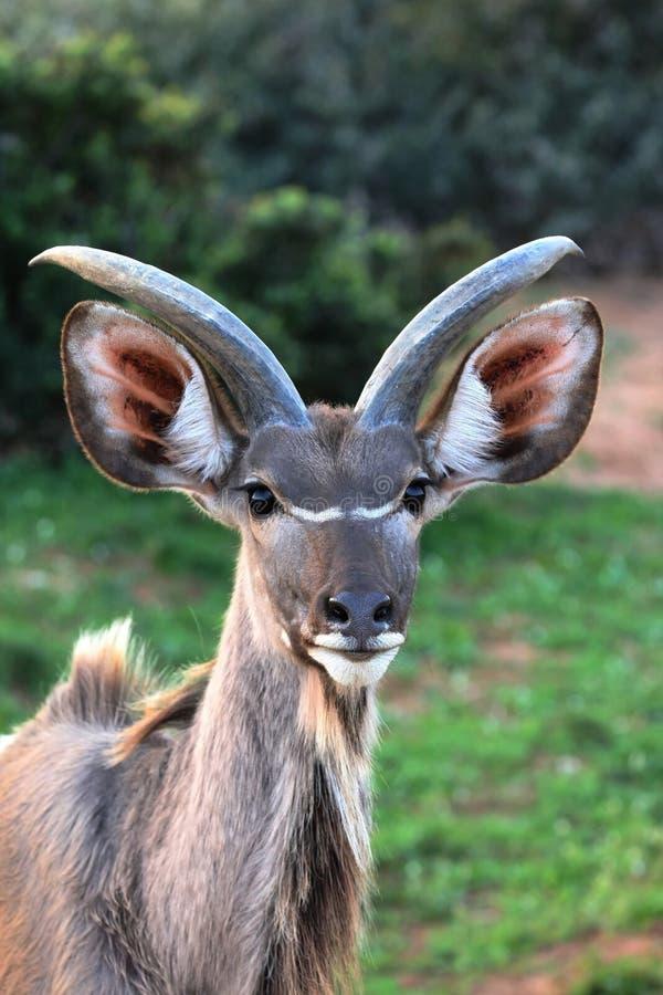 Antílope joven de Kudu foto de archivo libre de regalías