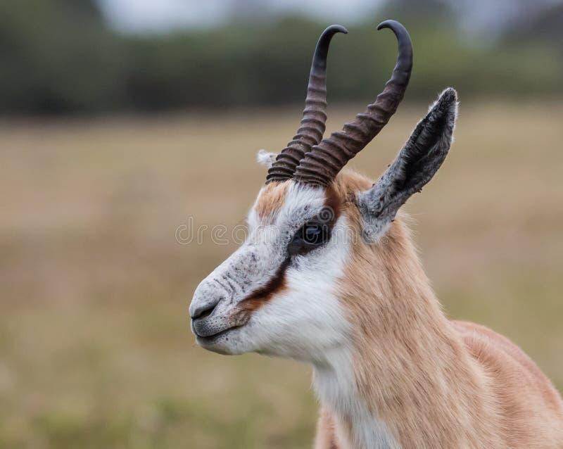 Antílope masculino da gazela em África do Sul fotos de stock